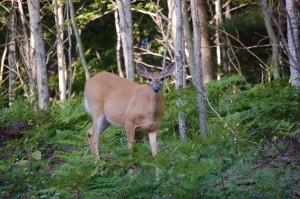 Bewabic State Park Deer