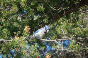 Blue Jay Whitefish Point