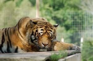 DeYoung Tiger