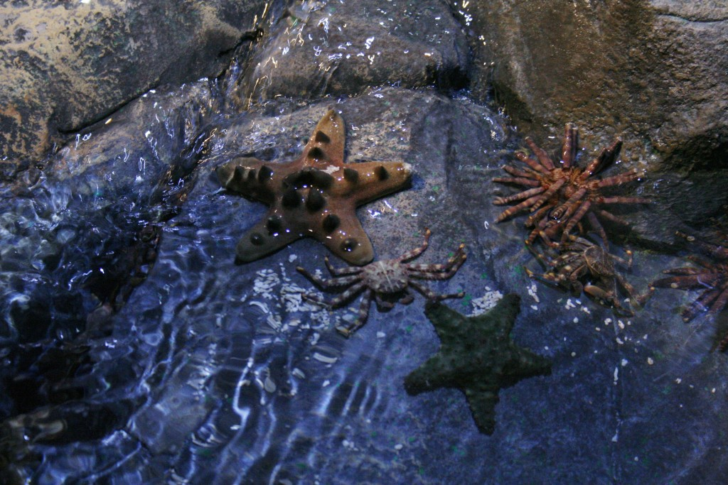 Sea Stars in Touch Pool