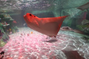 Cownose Ray Sea Life Aquarium Michigan
