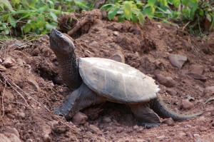 Keweenaw Wildlife Snapping Turtle