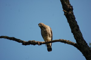Michigan Wildlife Craig Lake SP Hawk