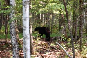 Porcupine Mountains Wildlife Bear