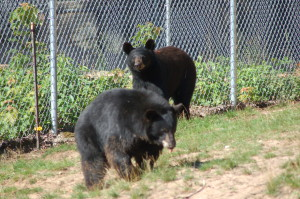 Oswald's Bear Ranch Cubs
