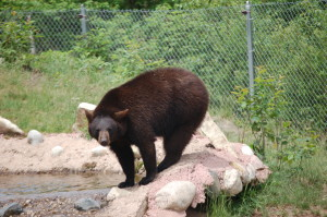 Oswald's Bear Ranch Looking