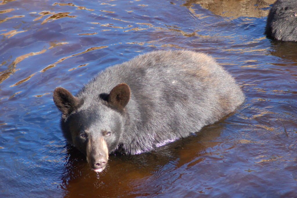 Oswald's Bear Ranch Swimming