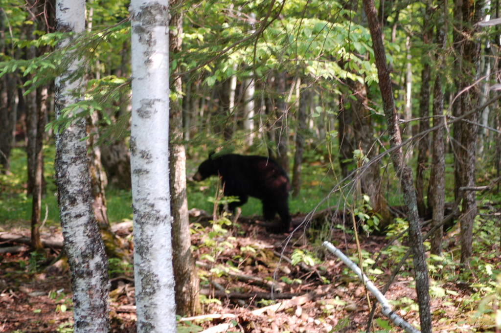 Black bear near M-107 and Lake of the Clouds