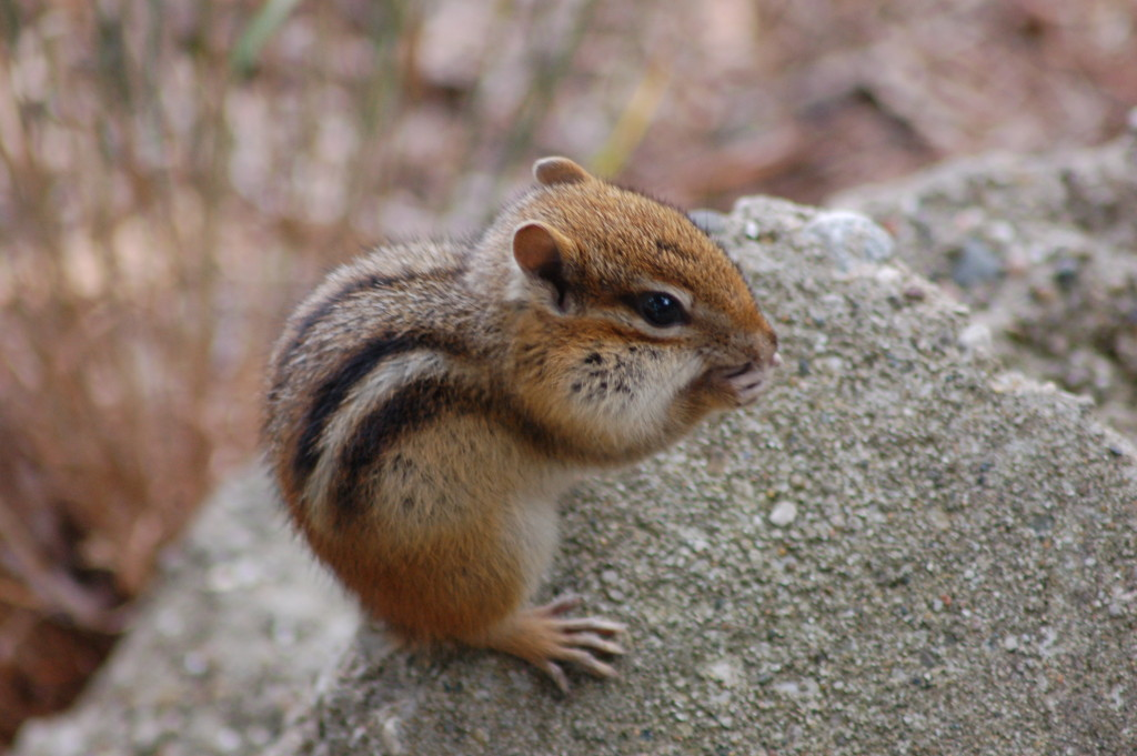 Chipmunk near Big Sable River