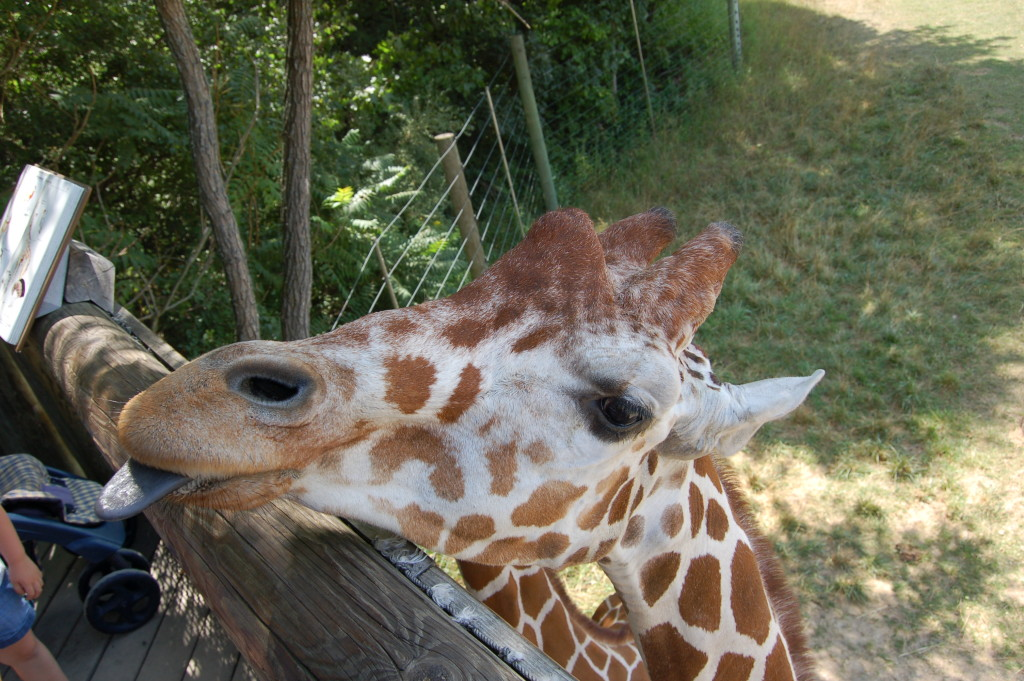 Giraffe at Binder Park Zoo