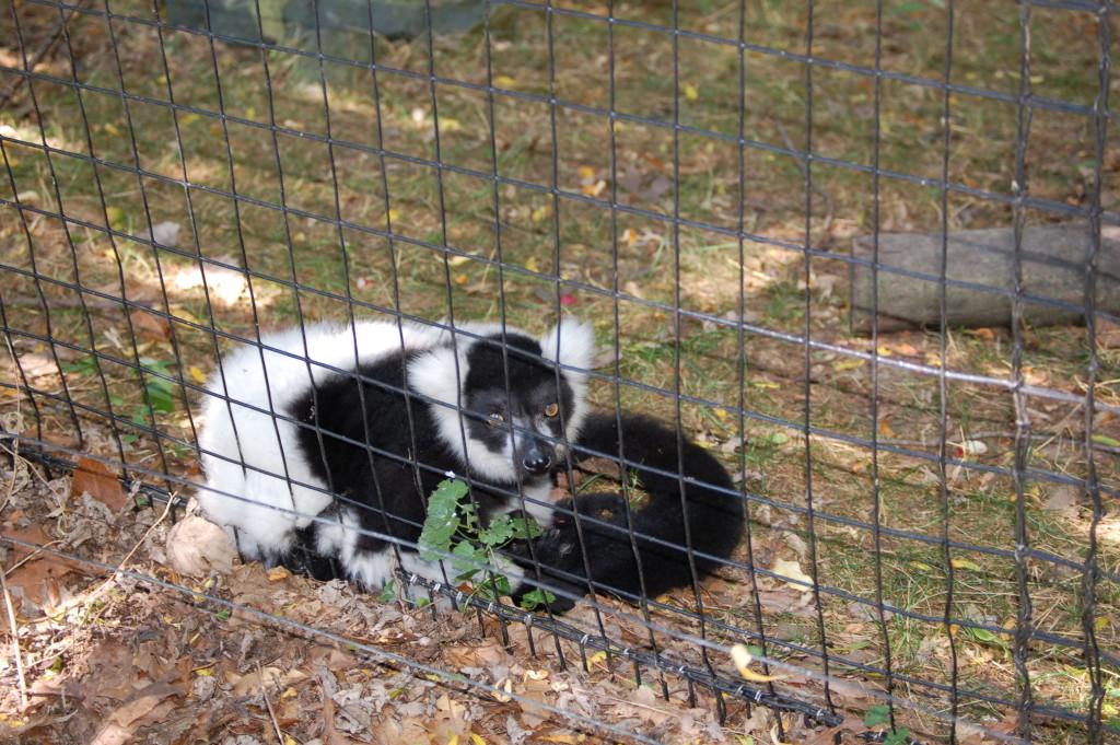 Binder Park Zoo Lemur