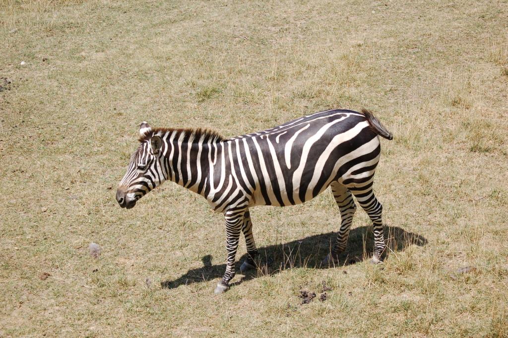 Binder Park Zoo Zebra
