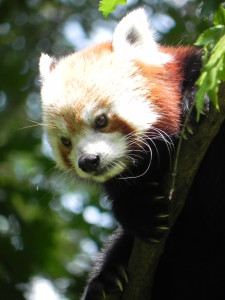 Red Panda Binder Park Zoo