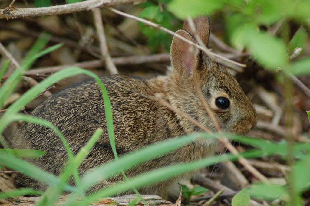 Baby Rabbit Pickerel Lake Preserve