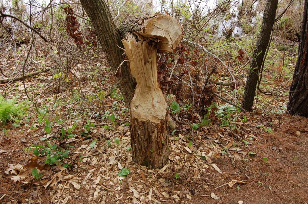Beaver Tree Pickerel Lake Nature Preserve
