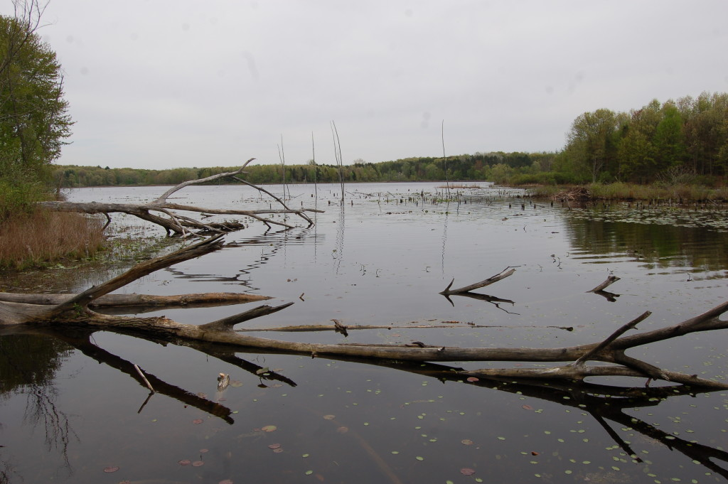 Fallen Trees Pickerel Lake Kent County