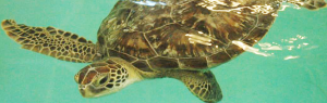 Benson, Sea Life Michigan's New Green Sea Turtle (Photo Courtesy of Sea Life)