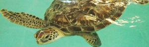 Benson, Sea Life Michigan's New Green Sea Turtle (Photo Courtesy of Sea Life)