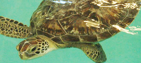 Sea Life Michigan Announces Newest Animal – Benson the Endangered Green Sea Turtle
