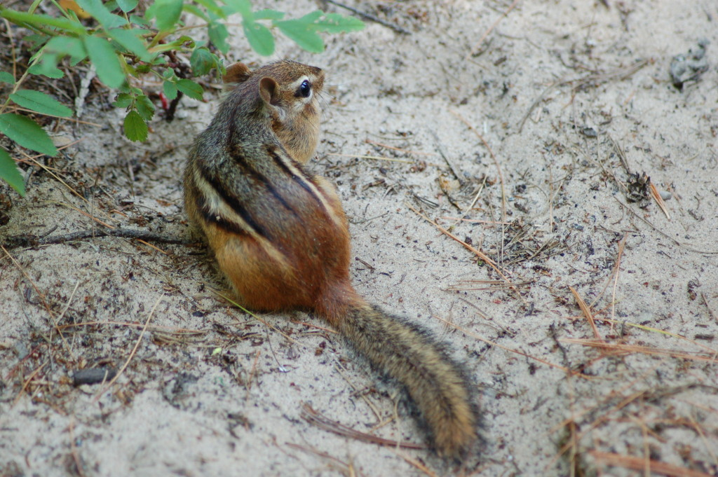 Chipmunk Petoskey State Park
