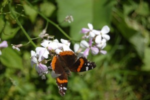 Mackinac Island Lilac Butterfly