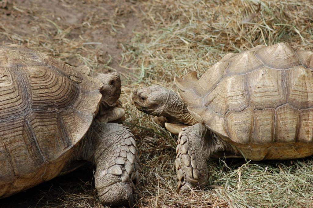 GarLyn Zoo 2 Tortoises