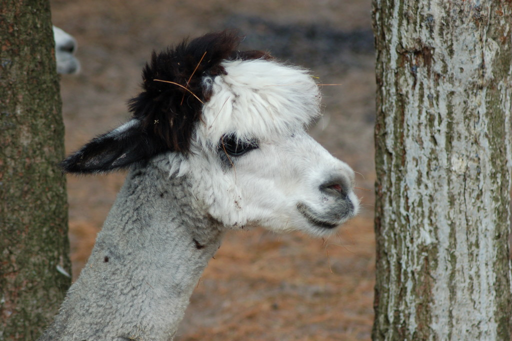 GarLyn Zoo Alpaca