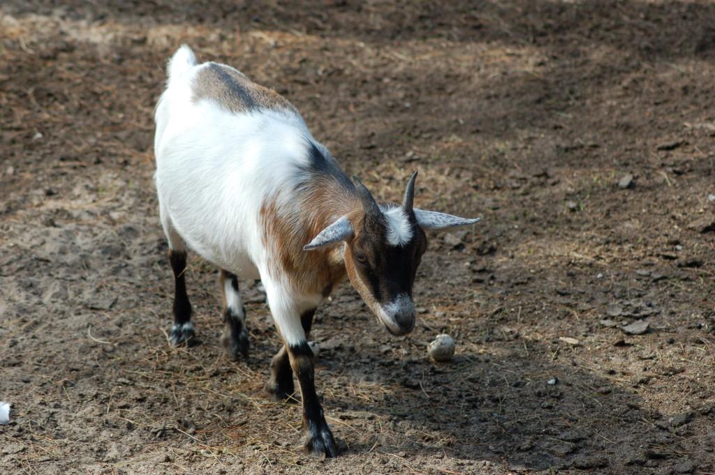 GarLyn Zoo Goat