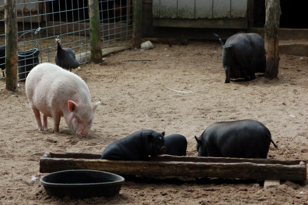 GarLyn Zoo Pigs