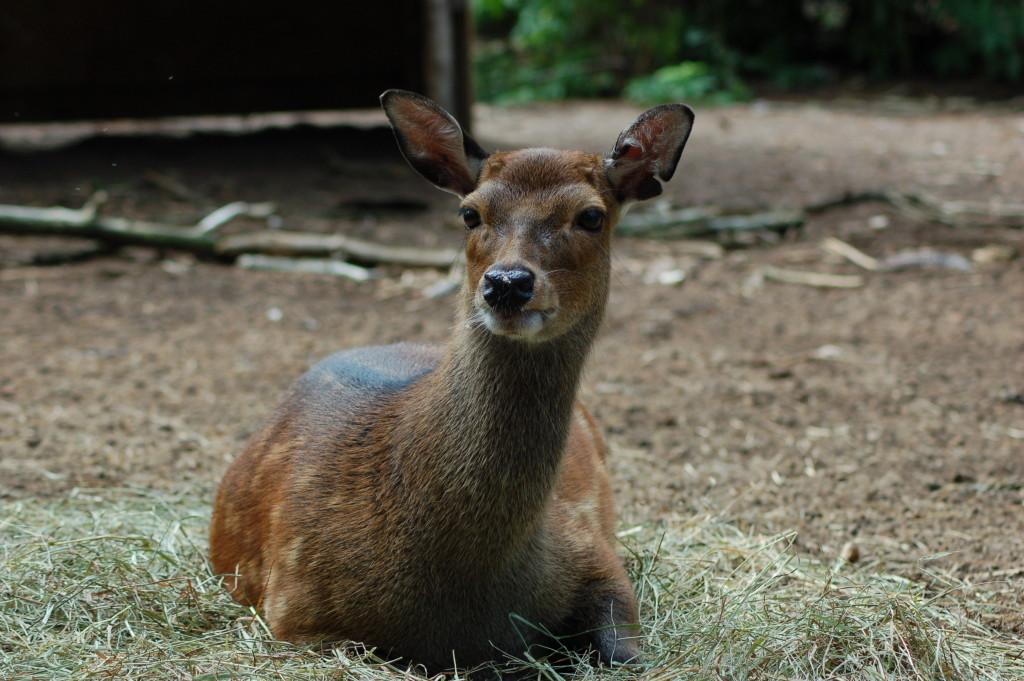 GarLyn Zoo Sitka Deer