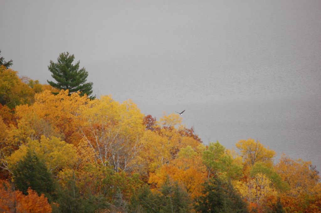 Bald Eagle at Lake of the Clouds, Porcupine Mountains