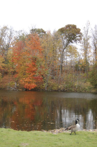Fall Color Michigan Canada Goose Fallasburg