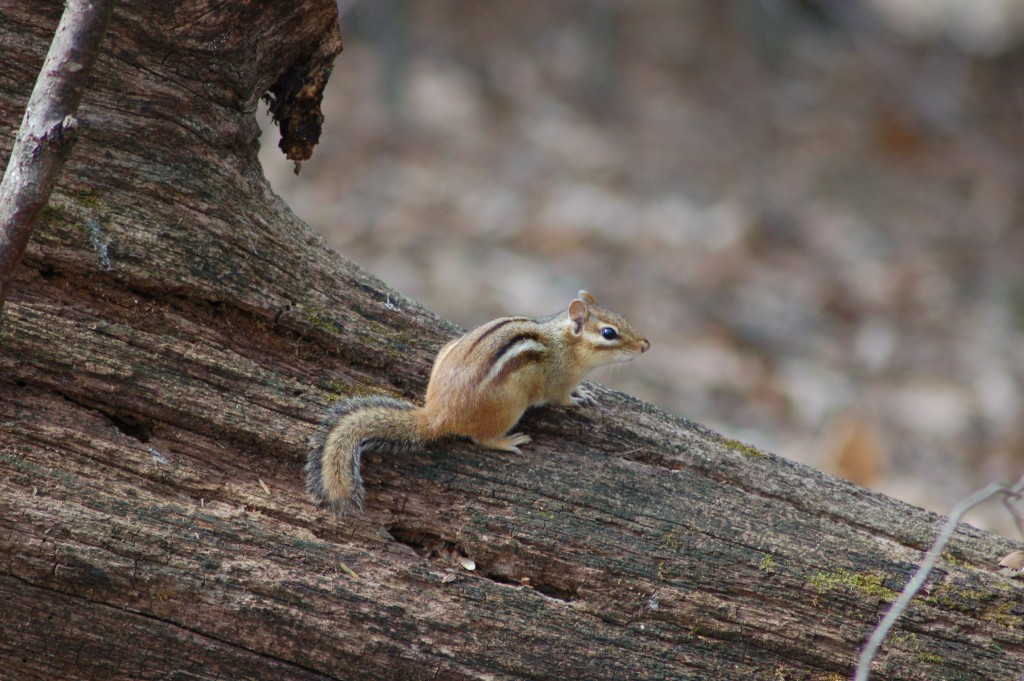 Chipmunk Rosy Mound Ottawa County Michigan
