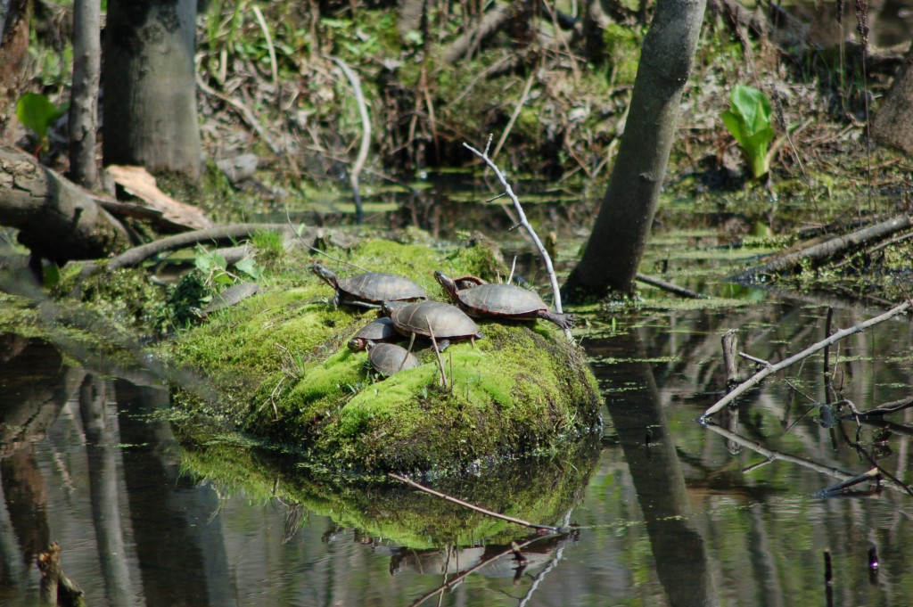 Turtles Pigeon River Holland MI