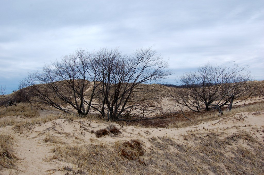 Muskegon State Pakr Dunes Tall Trees