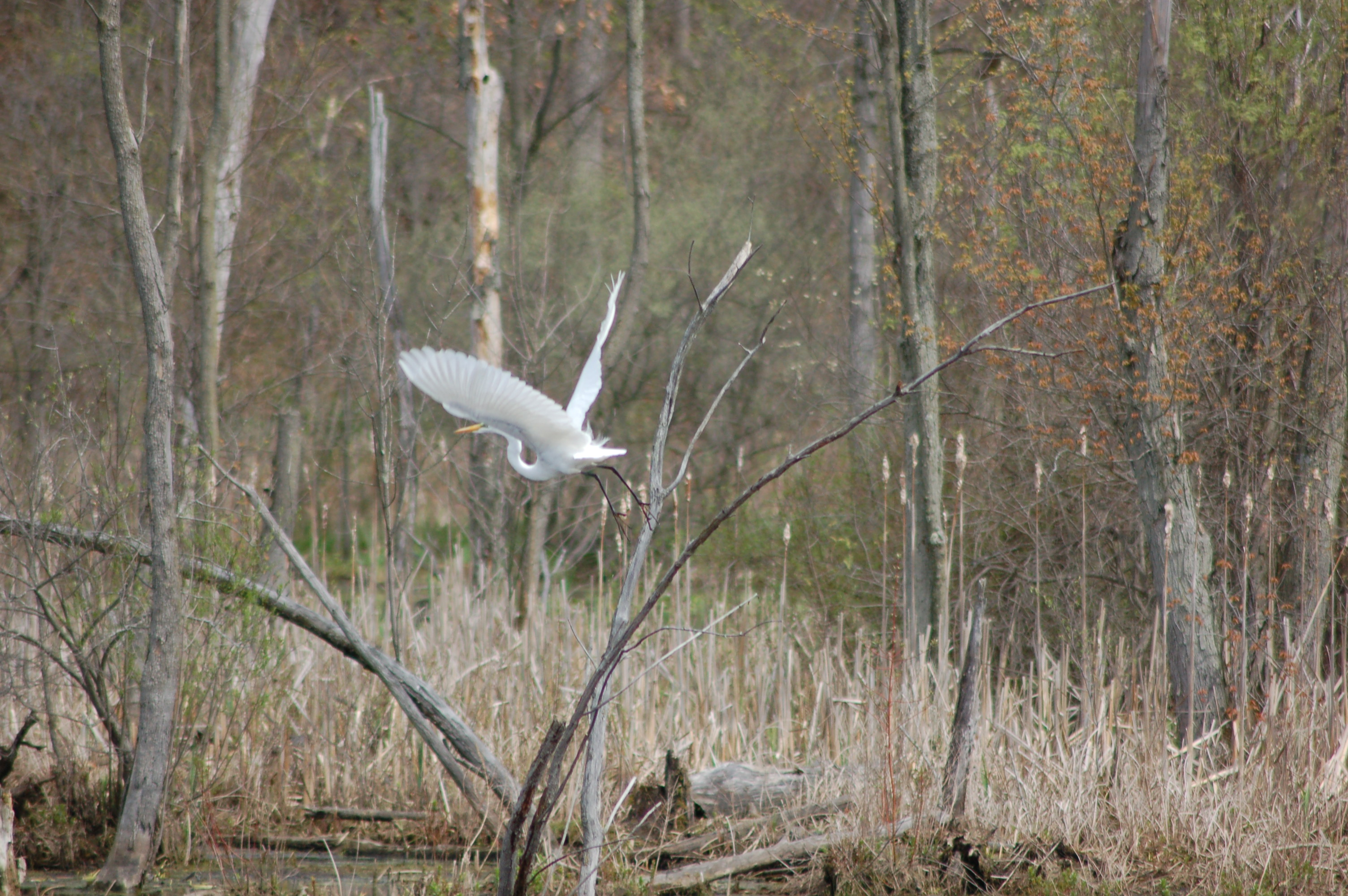 Paul Henry Trail Egret Flight