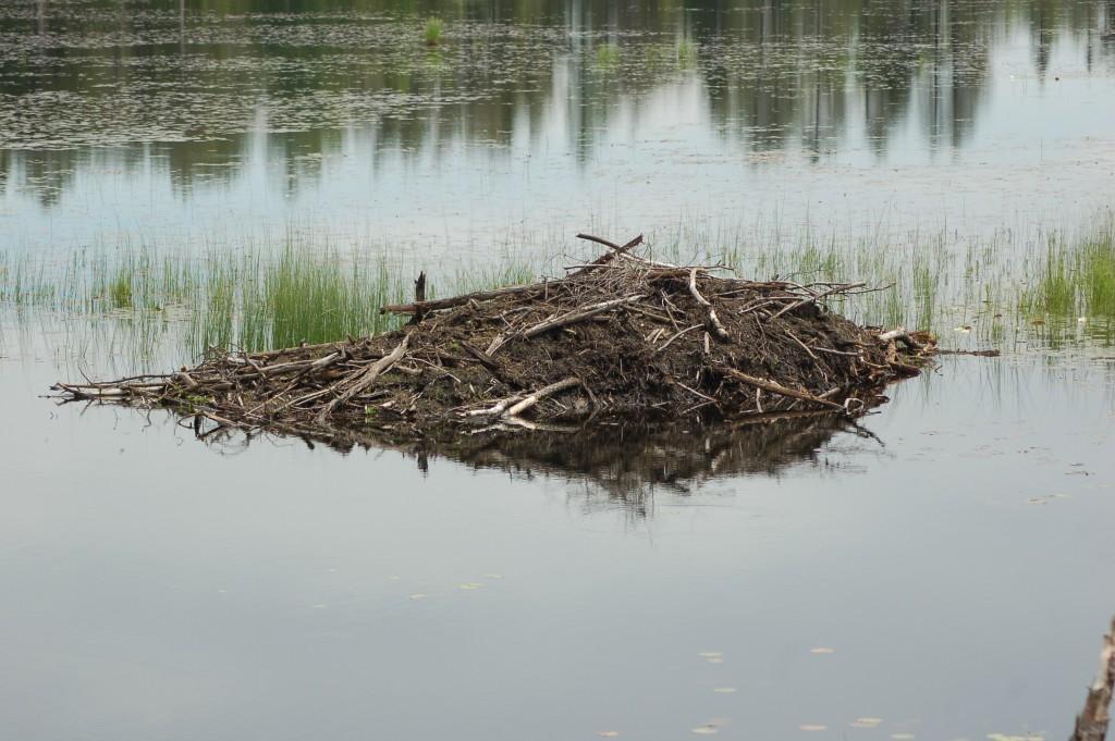 Seney National Wildlife Refuge Beaver Dam
