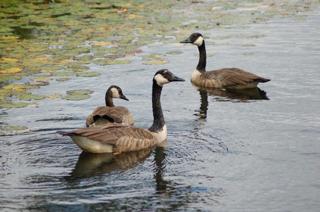 Seney National Wildlife Refuge Canada Geese