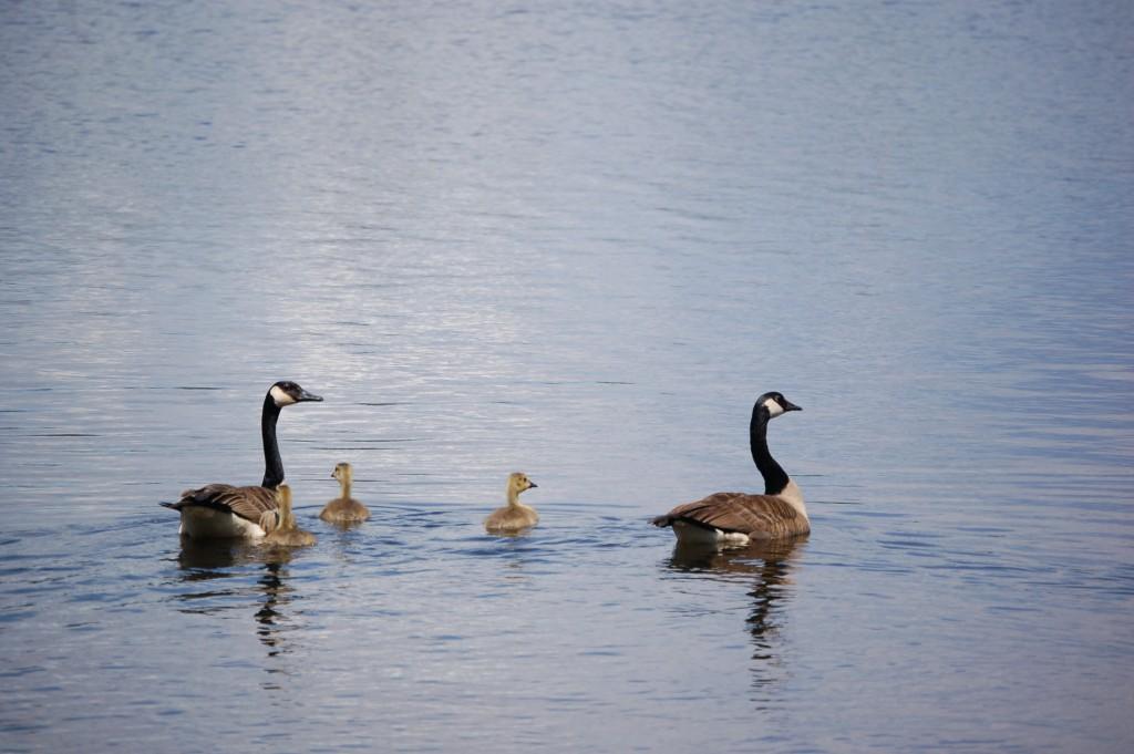 Seney National Wildlife Refuge Canada Geese Family