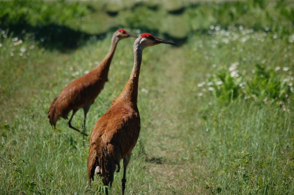 Seney National Wildlife Refuge MI Sandhill Cranes