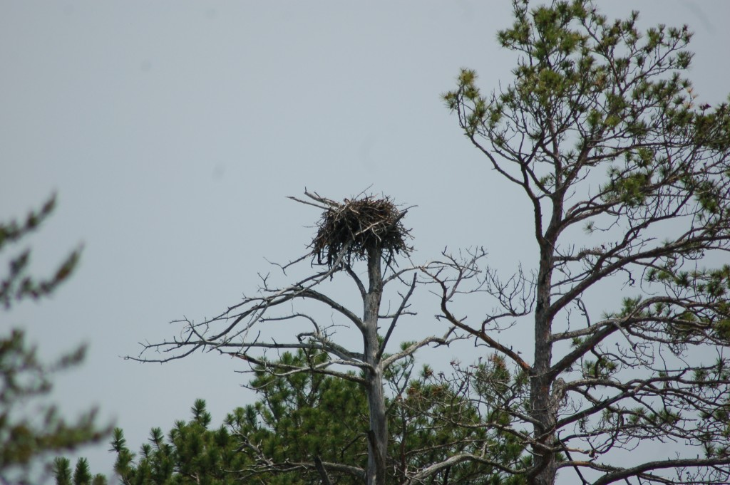 Seney National Wildlife Refuge Osprey Nest