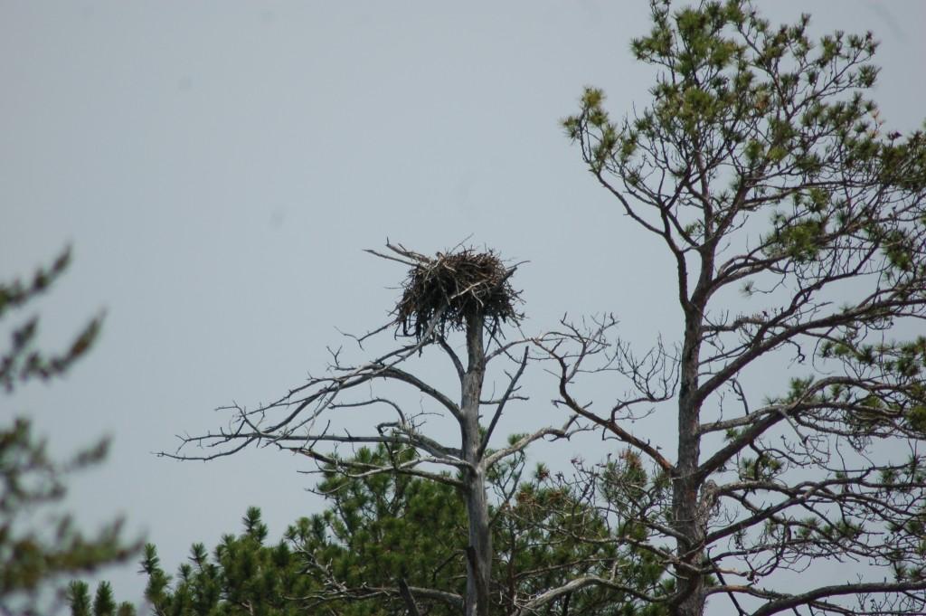Seney National Wildlife Refuge Osprey Nest