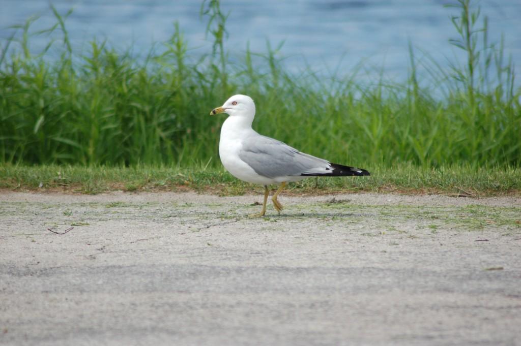 Seney National Wildlife Refuge Seagull MI