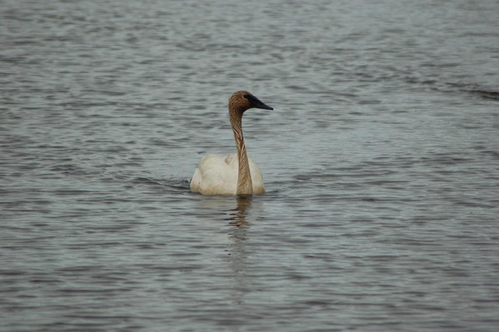 Seney National Wildlife Refuge Solo Swan Show Pool