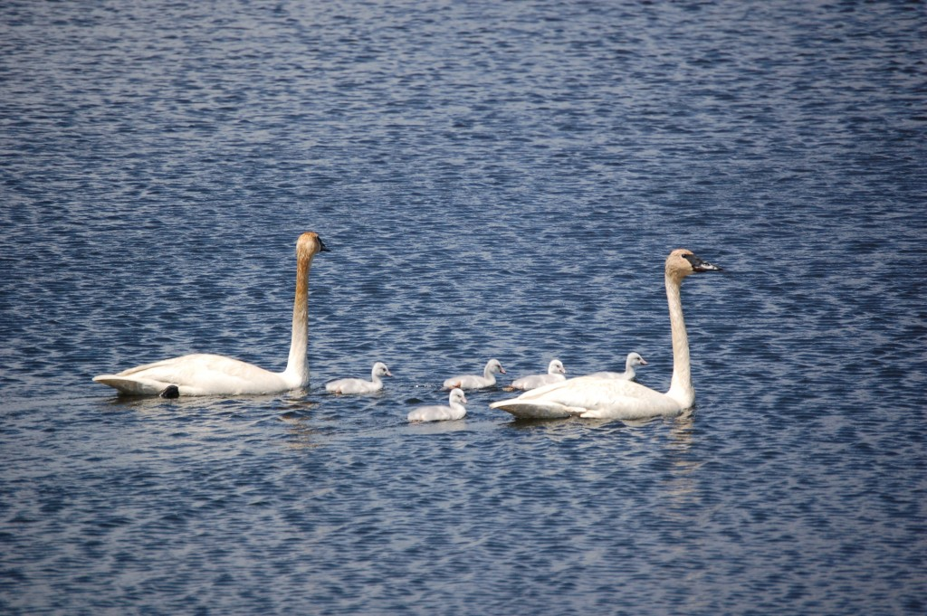 Seney National Wildlife Refuge Swan Family