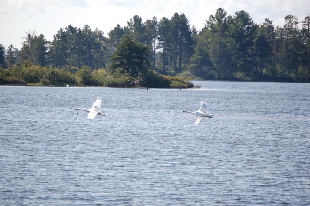 Seney National Wildlife Refuge Swans Flight Michigan