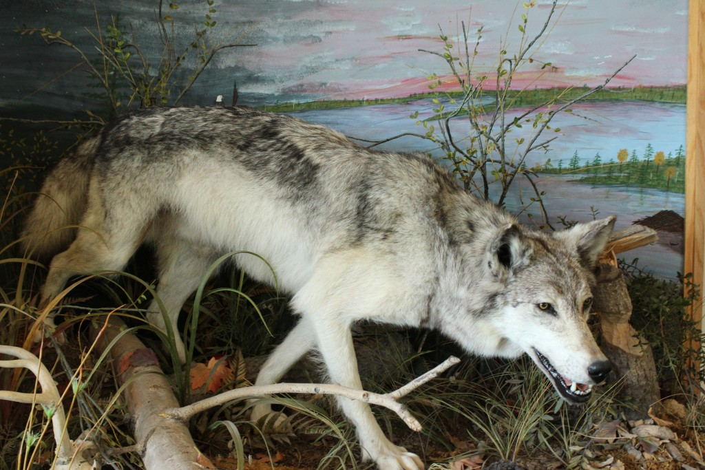 Seney National Wildlife Refuge Wolf Exhibit