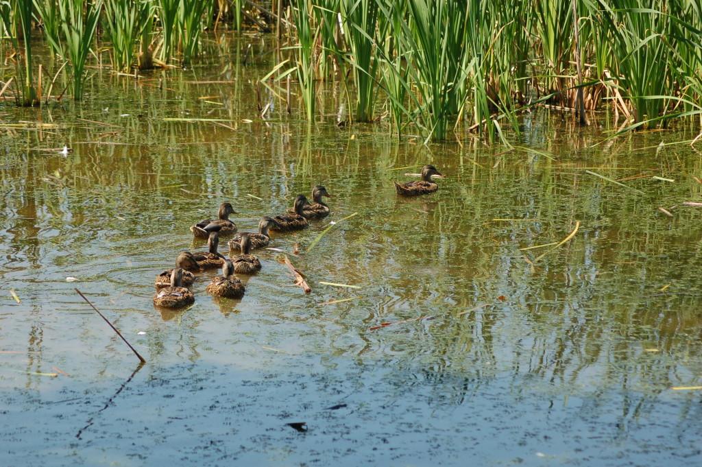 Frederik Meijer Gardens Ducks