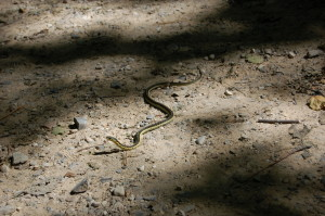 Pyramid Point Trail Garter Snake