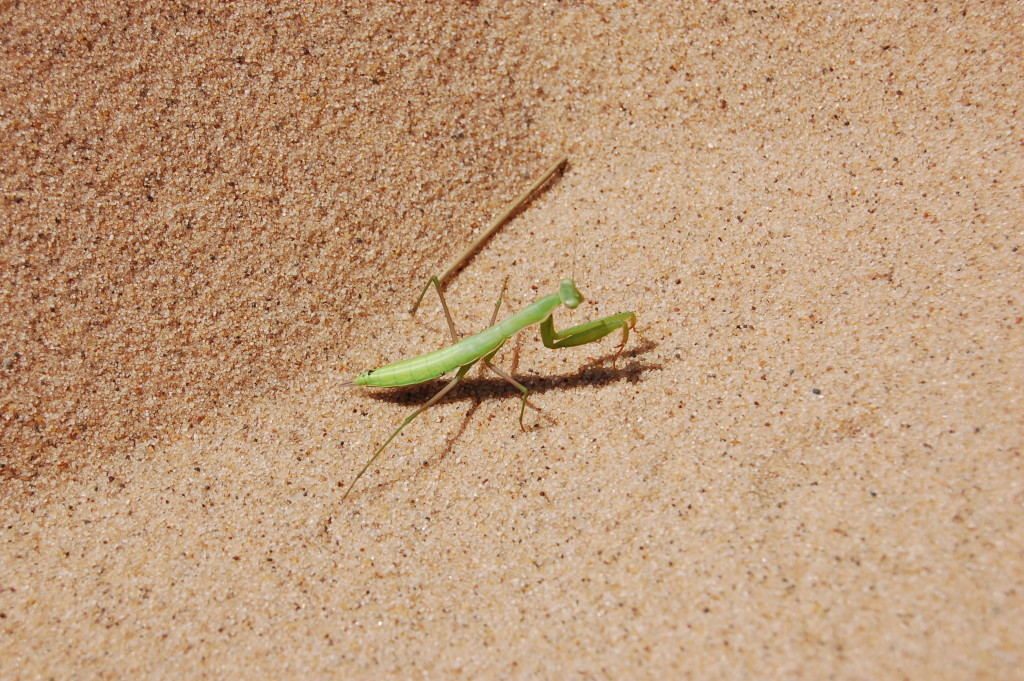 Sleeping Bear Dunes Praying Mantis